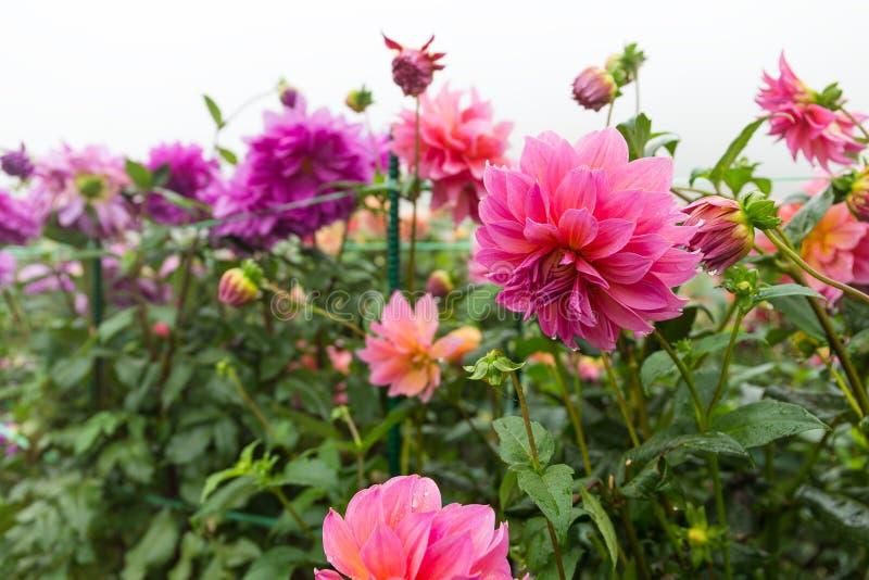 Chrysanthemen im Rosa und im Purpur stockfoto