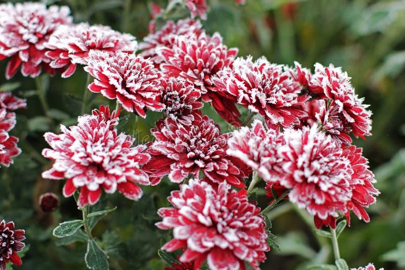 Chrysanthemen im Schnee Blumen stockfotografie