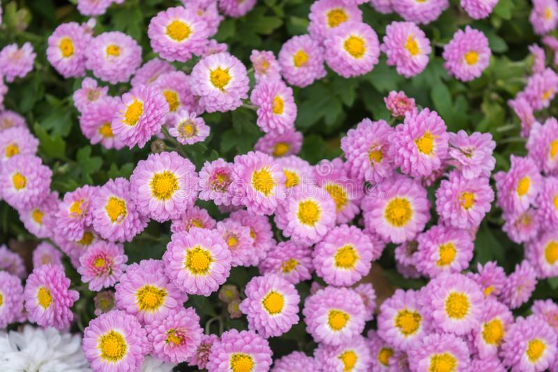 chrysanthemen lizenzfreies stockbild