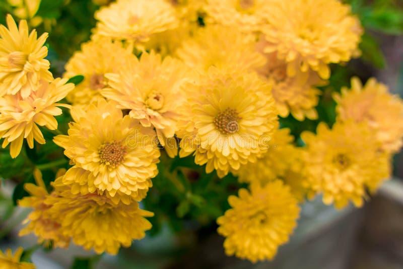 Chrysanthemen 5 stockbild