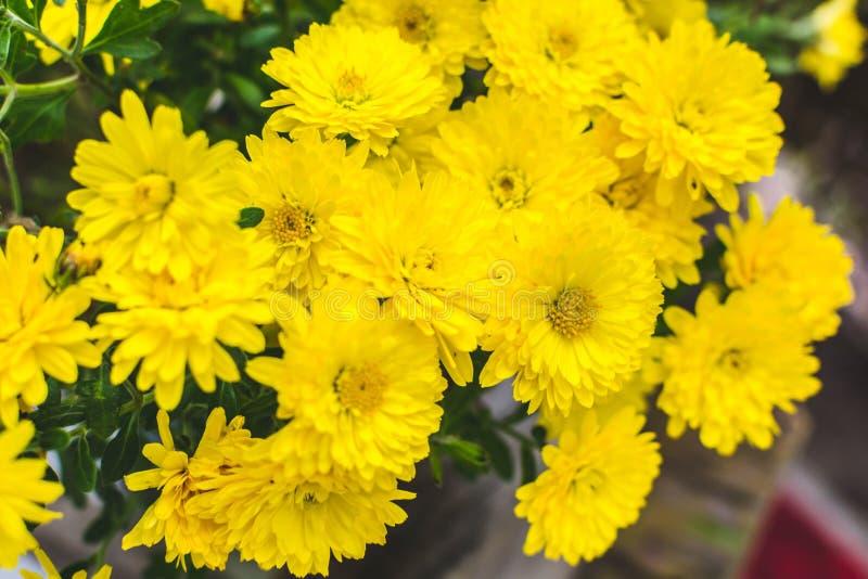 Chrysanthemen 3 lizenzfreie stockbilder