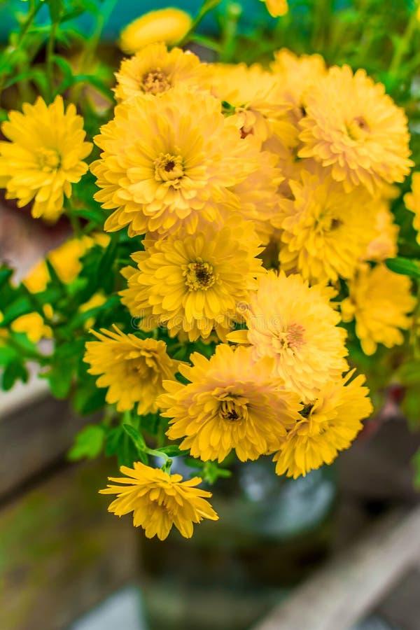 Chrysanthemen 4 lizenzfreie stockbilder