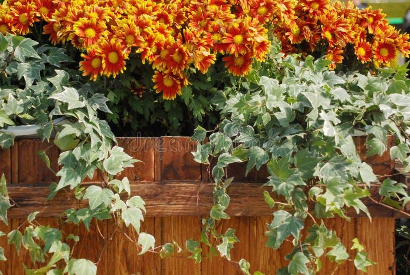 Chrysanthemen und Efeu lizenzfreies stockbild