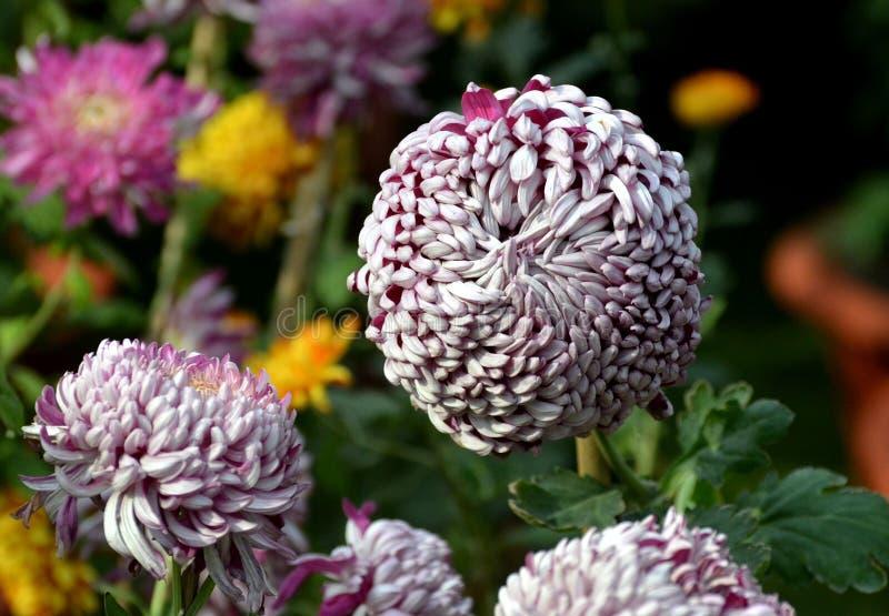 Chrysanthemenblumenausstellung in Bhopal stockbilder