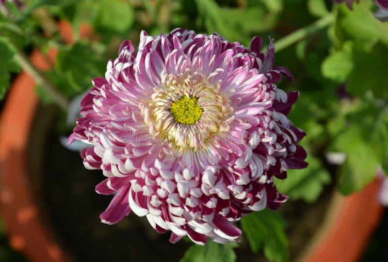 Chrysanthemenblumenausstellung in Bhopal lizenzfreie stockfotos