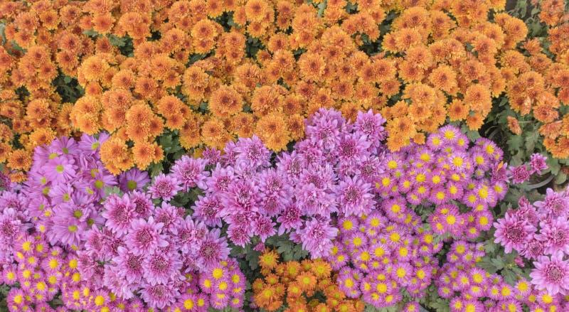 Chrysanthemenblumenhintergründe bunt lizenzfreies stockfoto