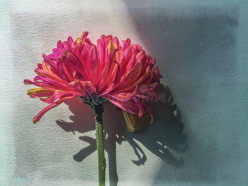 Chrysanthemium för Mum för CloseupFuji spindel rosa enkel blomma royaltyfri foto