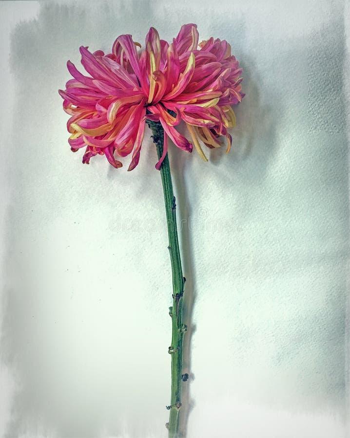 Chrysanthemium för Mum för CloseupFuji spindel rosa enkel blomma royaltyfri fotografi