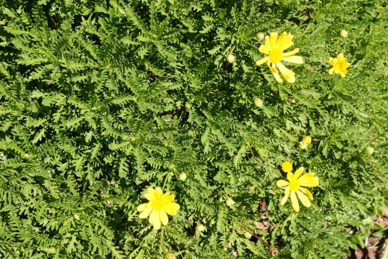 Chrysanthemoides de Euryops, margarida africana do arbusto foto de stock royalty free