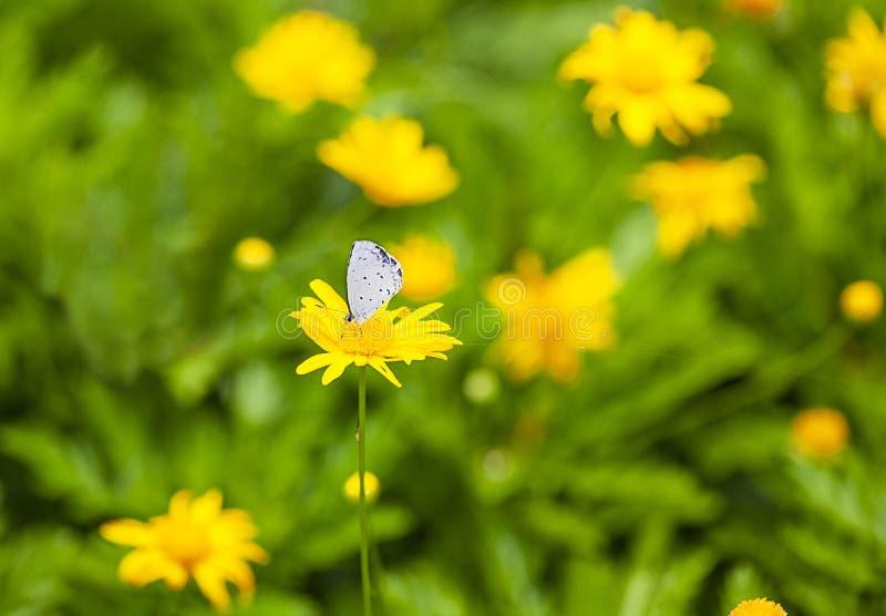 Chrysanthemoides et papillon images libres de droits