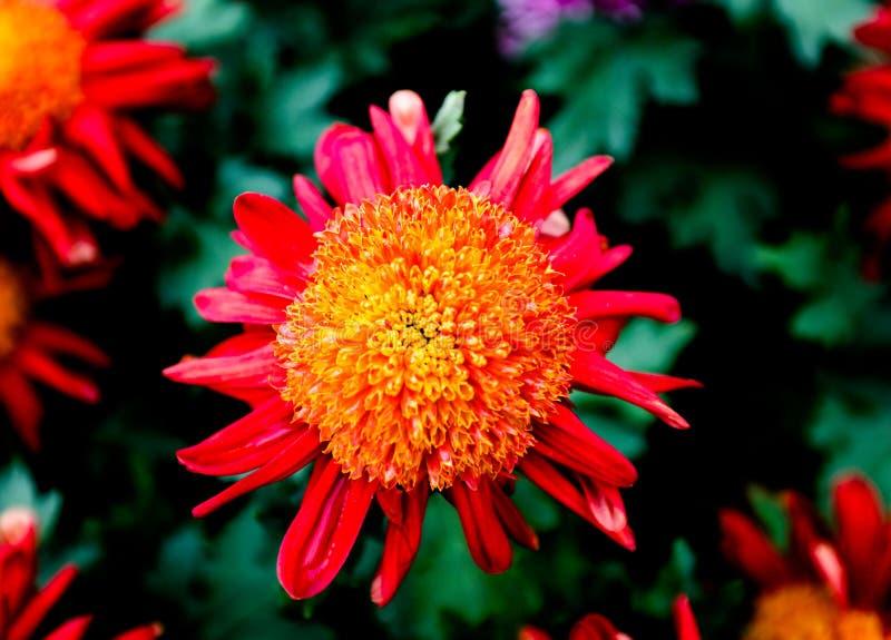 chrysanthemum foto de stock