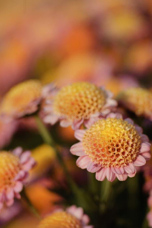 Chrysanthemum royalty free stock photography