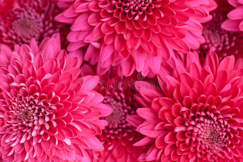 Download Chrysanthemum stock photo. Image of abstract, nature - 12488874