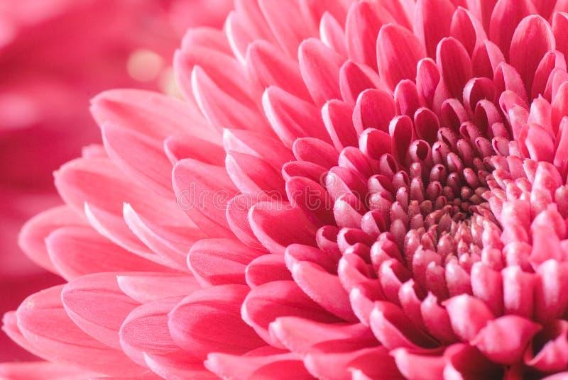 Chrysanthemum images stock