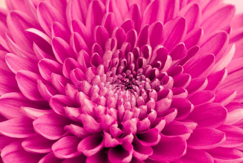 Download Chrysanthemum stock photo. Image of close, beautiful - 12704254