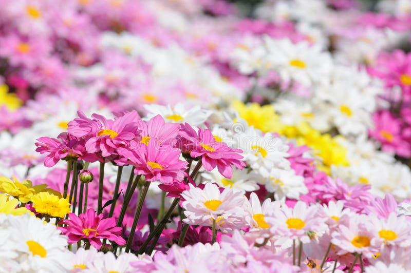 Download Chrysanthemum stock image. Image of close, nature, flower - 14273035