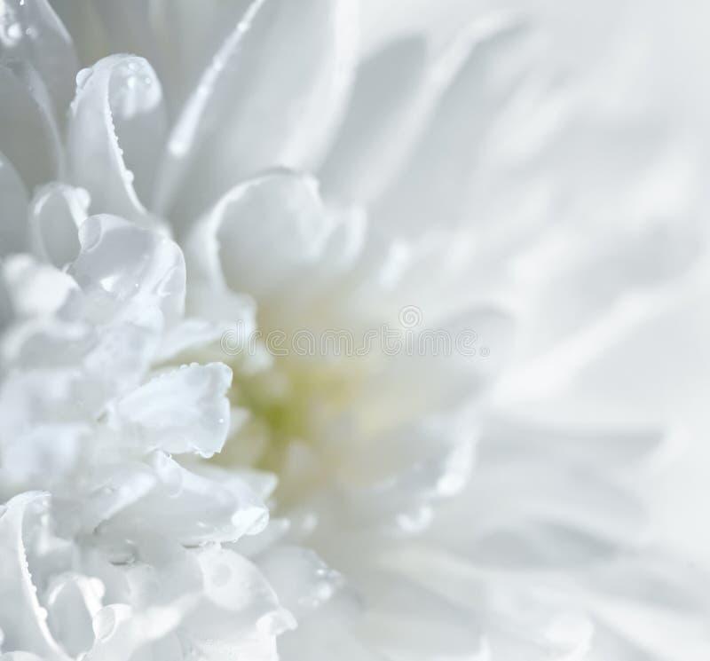 Download Chrysanthemum stock image. Image of petal, color, plant - 15880139