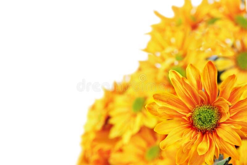 chrysanthemum royaltyfri bild