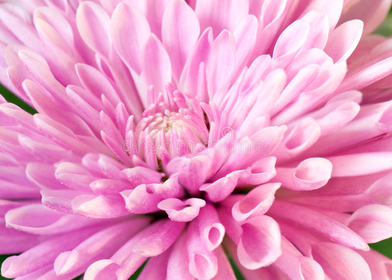 Download Chrysanthemum stock photo. Image of petal, background - 17922448