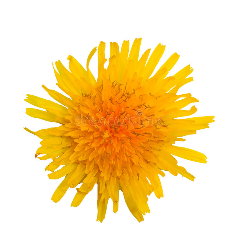 Download Chrysanthemum stock photo. Image of flower, photography - 21706046