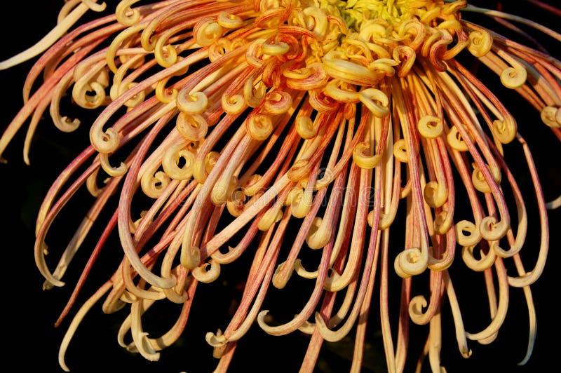 Chrysanthemum images libres de droits