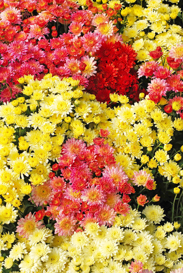 Download Chrysanthemum stock photo. Image of autumn, decorative - 22330116