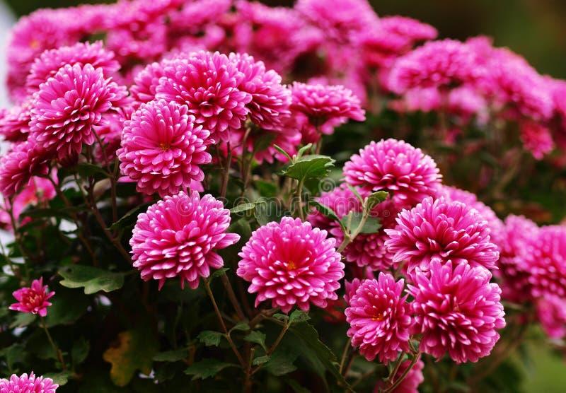 Chrysanthemum image libre de droits