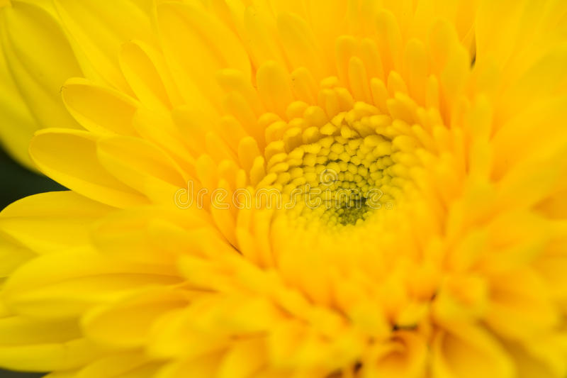 Download Chrysanthemum stock photo. Image of detail, petal, macro - 27464278