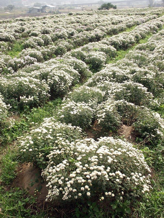 Download Chrysanthemum stock photo. Image of growth, decoration - 28559226