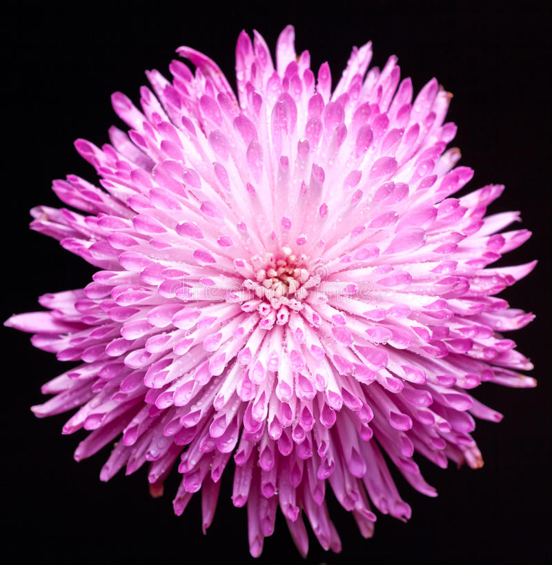 Chrysanthemum 5 photographie stock