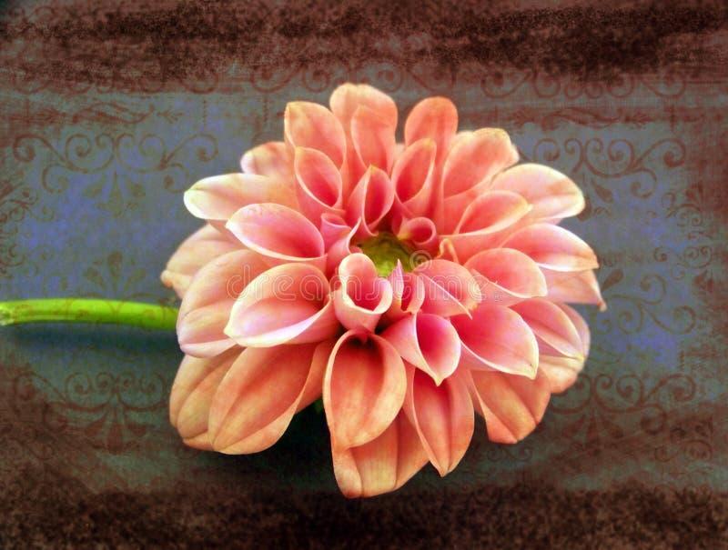 Chrysanthemum. Artistic presentation of a chrysanthemum flower royalty free stock photo
