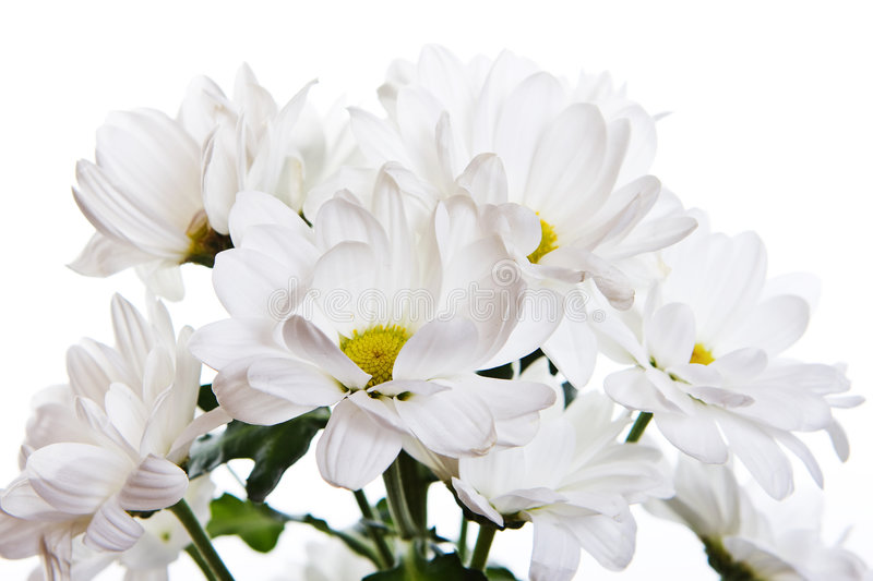 Download Chrysanthemum stock image. Image of flowery, nature, blossom - 7747743