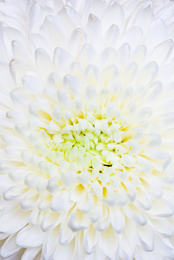 Download Chrysanthemum stock photo. Image of abstract, leaf, beauty - 8199322