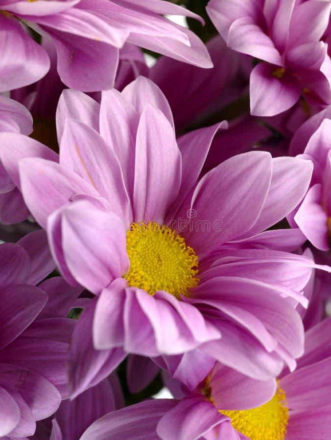 Download Chrysanthemum stock image. Image of petal, natural, closeup - 8929247