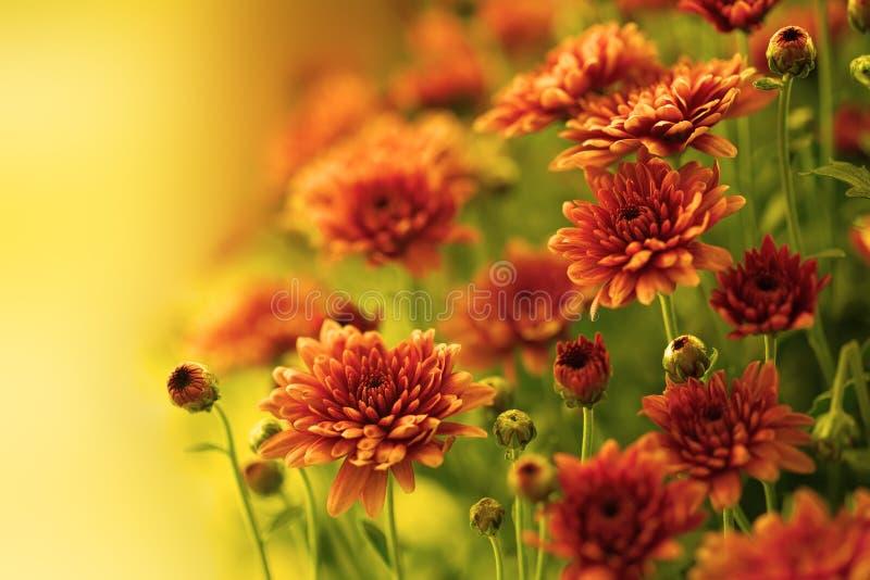 Chrysanthemum automnal coloré image libre de droits