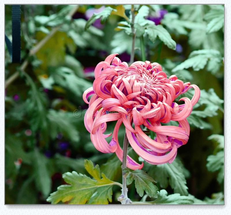 The chrysanthemum in the autumn Beihai Park royalty free stock photos