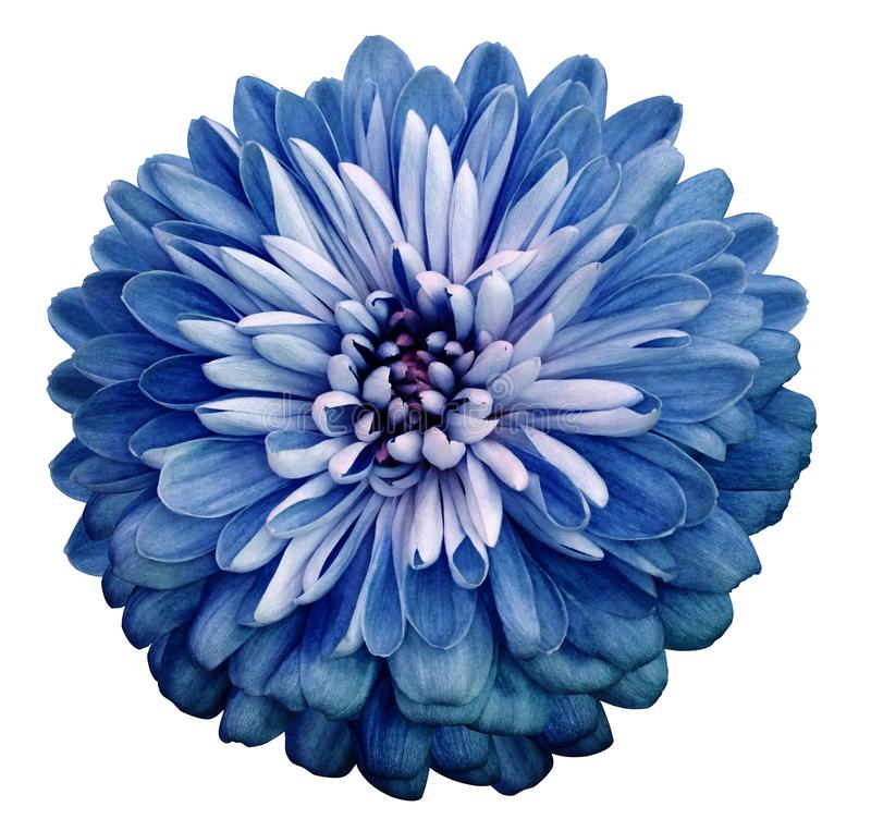 Chrysanthemum blue flower. On white isolated background with clipping path. Closeup no shadows. Garden flower. stock photo