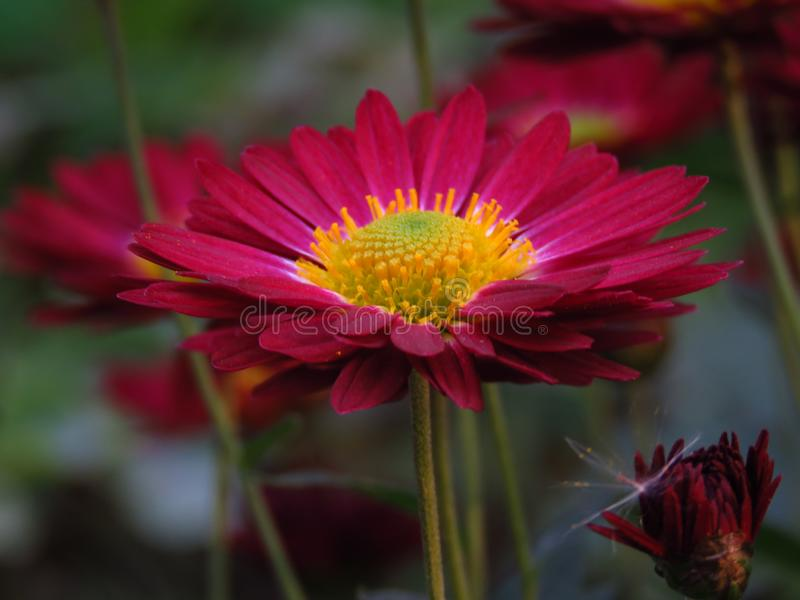 Chrysanthemum `Bonnie Red`. Chrysanthemum Flowers `Cottage Apricot`. Beautiful vibrant red and yellow autumn garden flower. stock photo