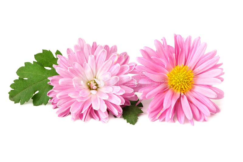 Chrysanthemum bright pink flower with green leaf isolated on white background royalty free stock photo