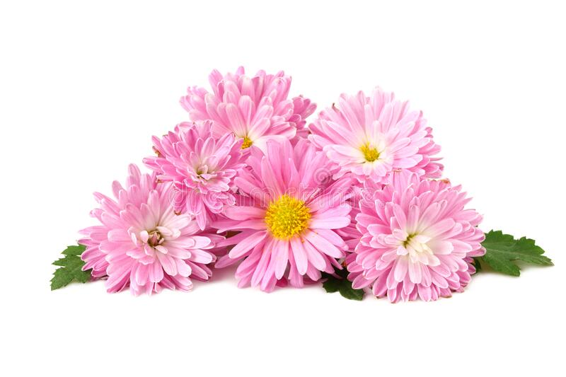 Chrysanthemum bright pink flower with green leaf isolated on white background stock photos