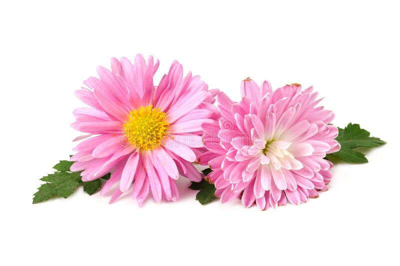 Chrysanthemum bright pink flower with green leaf isolated on white background royalty free stock photos