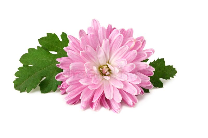 Chrysanthemum bright pink flower with green leaf isolated on white background royalty free stock photography