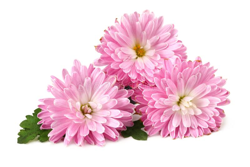 Chrysanthemum bright pink flower with green leaf isolated on white background royalty free stock images
