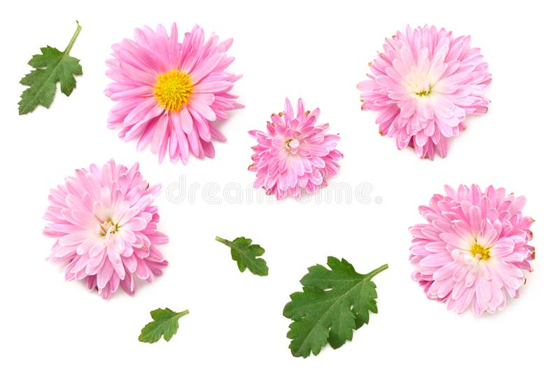 Chrysanthemum bright pink flower with green leaf isolated on white background. top view stock photos