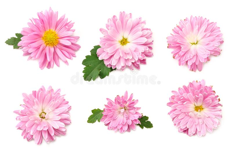 Chrysanthemum bright pink flower with green leaf isolated on white background. top view royalty free stock photo
