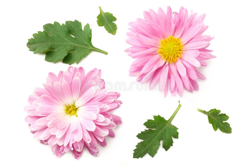 Chrysanthemum bright pink flower with green leaf isolated on white background. top view royalty free stock photography