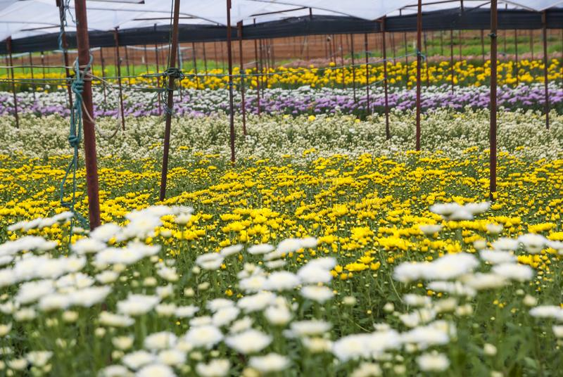 Chrysanthemum, Chrysanthemums farm, Chrysanthemums farm from Thailand country stock images