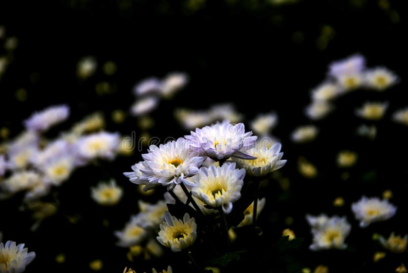 Chrysanthemum, Chrysanthemums farm, Chrysanthemums farm from Thailand country royalty free stock photos