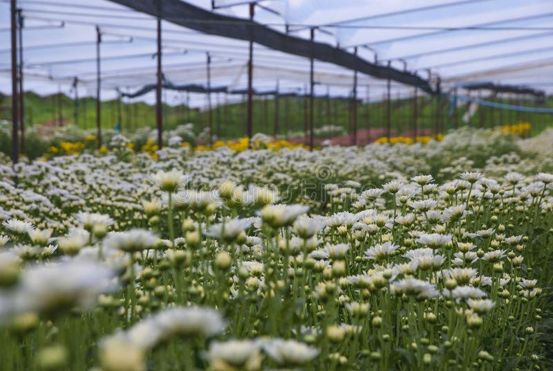 Chrysanthemum, Chrysanthemums farm, Chrysanthemums farm from Thailand country royalty free stock image