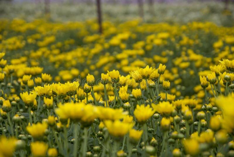 Chrysanthemum, Chrysanthemums farm, Chrysanthemums farm from Thailand country stock photos